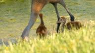 Pair of Sand Hill Crane Chicks Follow Mom Along Water video