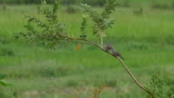 pair of spotted dove on guava tree video