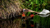 Pair of White-Faced Whistling Ducks in a marsh video