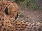 PAL.Cheetah rests. video
