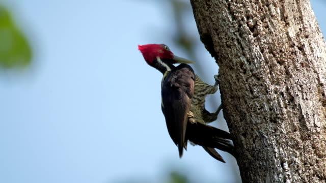 Pale billed woodpecker video