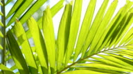 Palm leaf video