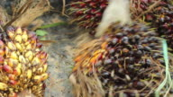 Palm Oil Fruit video