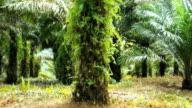 Palm Oil Plantation video