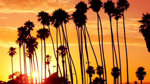 Palm tree at sunset on california - USA video
