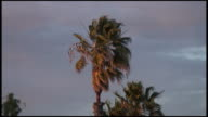 (HD1080i) Palm Tree Blows in the Wind as Storm Approaches video