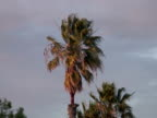 Palm Tree Blows in the Wind as Storm Approaches video