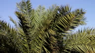 Palm tree branches sway in the wind video