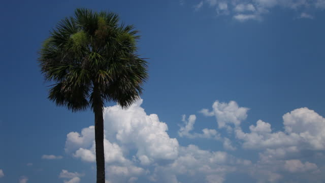 Palm Tree on Cloud Dappled Blue Skies video