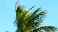 Palm tree sway in the wind with blue sky background video