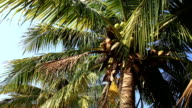palm tree with fruits in the blue sunny sky video