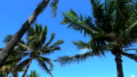 Palm trees in the wind against blue sky video