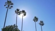 Palm Trees with Sun Behind on Windy Day video