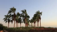 Palms trees in the wind video