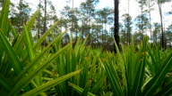 Pan of Pine Forest with saw palmetto fronds in foreground video