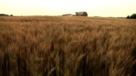 Pan of Wheat Farm video