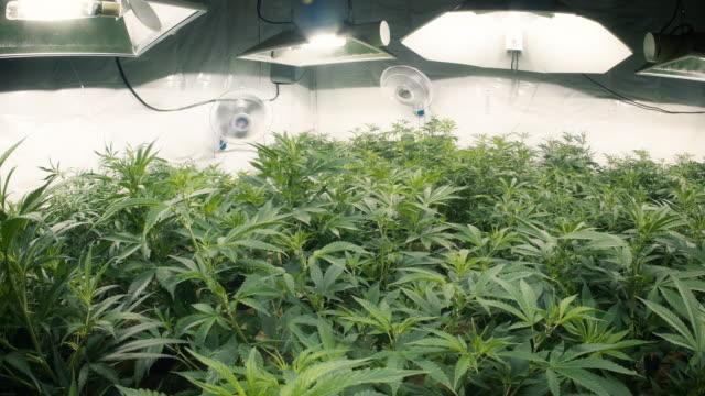 Pan Right Across Indoor Marijuana Plants with Fisheye Lens video