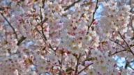 Pan Shot Full Bloom of Cherry Blossom (Sakura) video