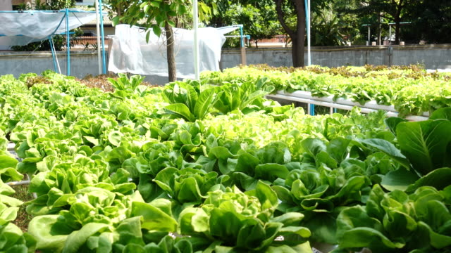 Pan shot hydroponic vegetable in agriculture farm video