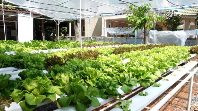 Pan shot hydroponic vegetable in farm video