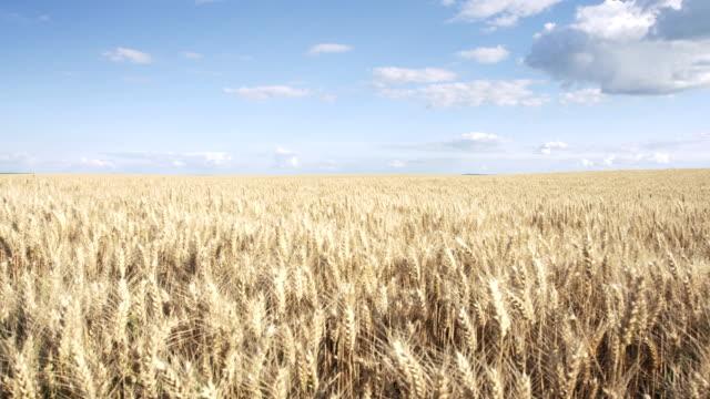Pan shot of wheat field and beautiful sky video