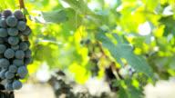 pan to wine grapes closeup video