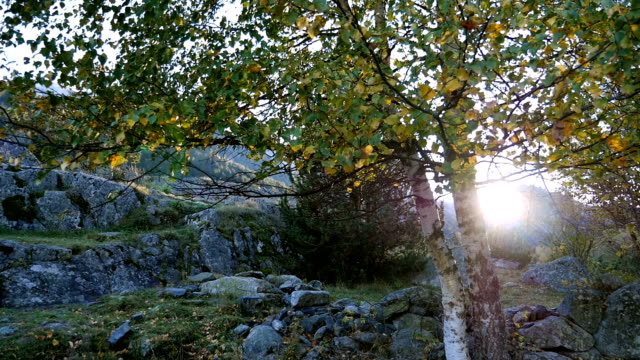 Pan up birch tree , leaves shaking in the wind, Pyrenees, Spain video