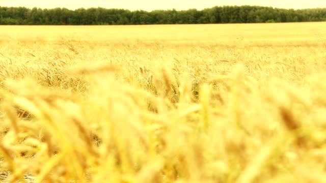 Panarom shot of a wheat field video