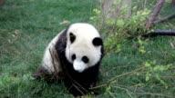 Panda Bear Eating Leaves video