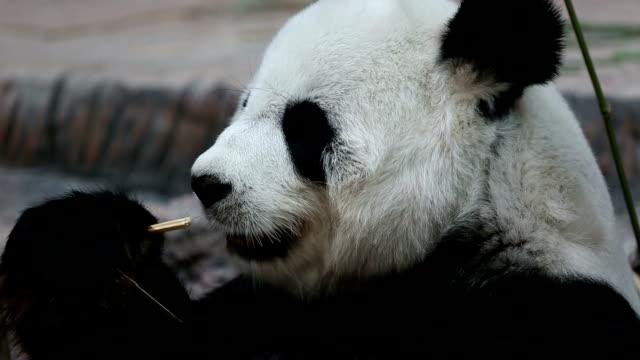 Panda. video