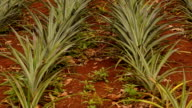 panning: a pineapple farm on the slope of mountain video