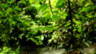 Panning Across Tree Leaves and Branches with River Background video