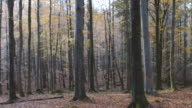 Panning :Autumn forest pan view,Northern Ireland video