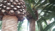 panning: Canary Island date palm video
