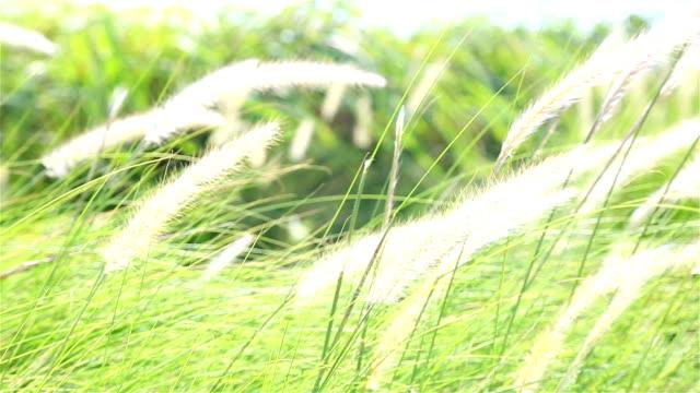 HD Panning: Flower of grass video