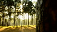 panning: fog and sunshine in pine Forest in Thailand video