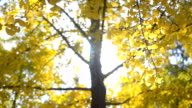 panning: Ginkgo leaves and tree under sunlight video