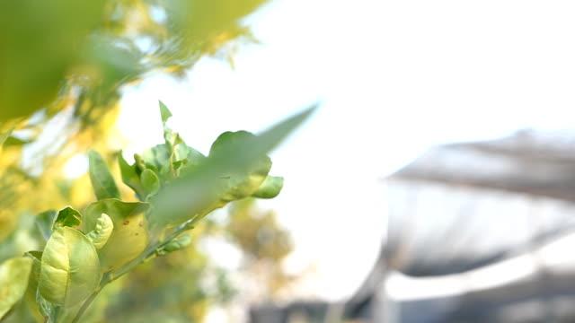 panning: Kaffir Lime  on tree video