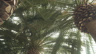 panning: low angle view of Canary Island date palm video