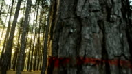 panning: low sunshine in pine Forest in morning video