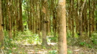 panning : mature rubber tree garden in south of Thailand video