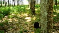 panning : mature rubber tree garden in Thailand video