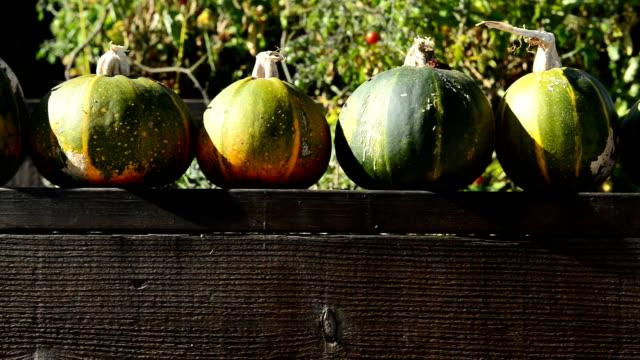 Panning Movement of Pumpkin Zucchini's on a Garden Fence video