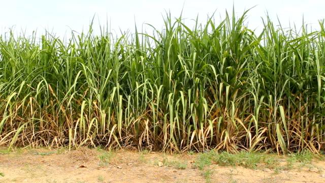 Panning of green sugarcane video