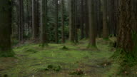 Panning :pine tree forest pan view,Northern Ireland video