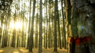panning: pine trunks on Forest in Thailand video