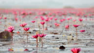 HD Panning: Red Lotus lake in Udonthani Thailand video