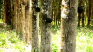 panning : row of rubber tree garden in Thailand video