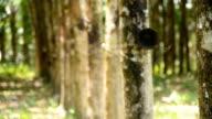 panning :rubber tree garden in Thailand video
