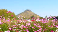 Panning shot of cosmos flower field with blue sky background video